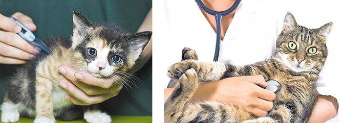 Вакцинация от лишая у кошек