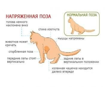 Как ведет себя кошка после вязки, почему она продолжает просить кота?