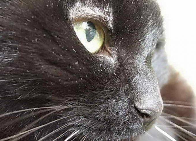 Перхоть у кошки: виды, симптомы, лечение и профилактика