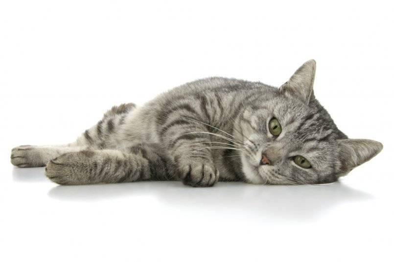 Ложная беременность у кошек: симптомы, лечение, как определить и что делать