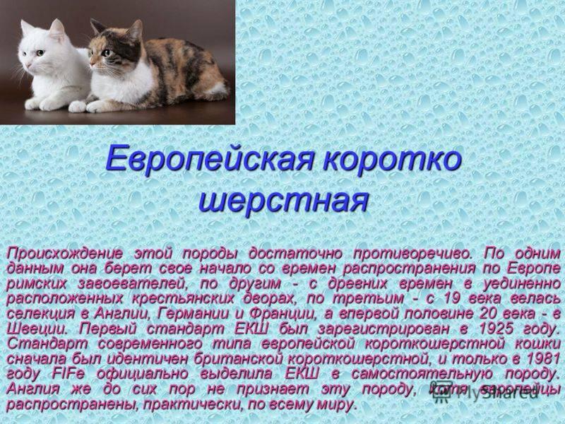 Бразильская короткошерстная кошка (22 фото): описание породы, особенности содержания взрослых котов, кошек и котят
