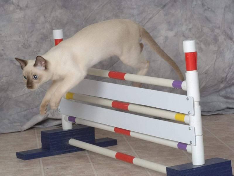 Как дрессировать кота в домашних условиях: уроки начинающим