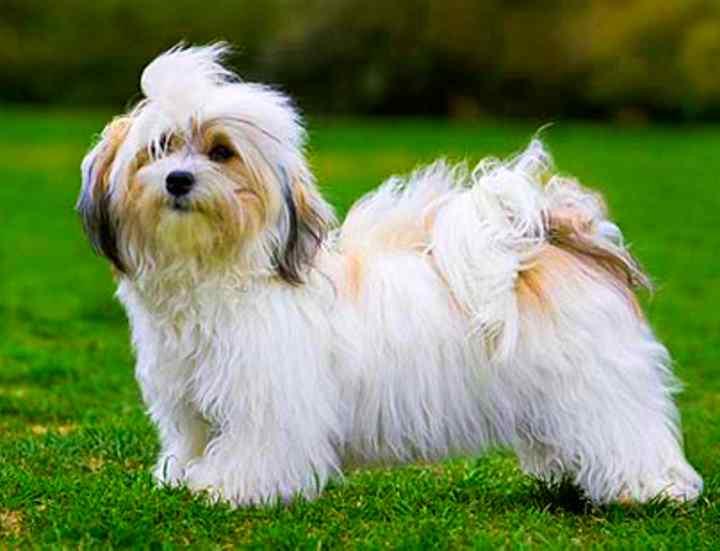 Характеристики и фото бишона фризе. его отличия от гаванского, мадагаскарского и других собачек