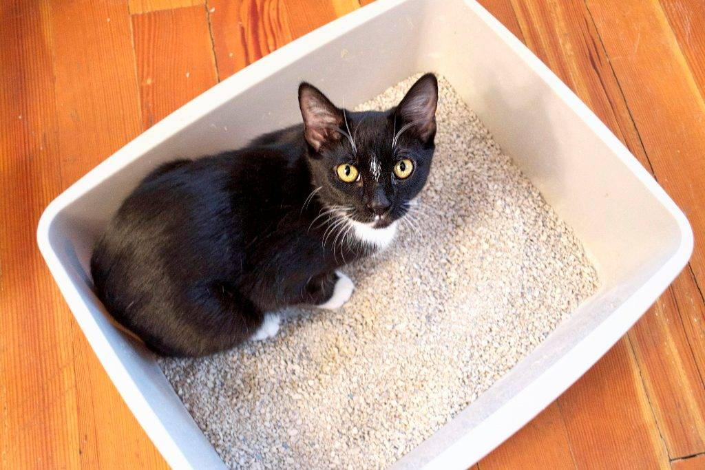 Как приучить котенка к туалету-лотку с наполнителем или без него быстро