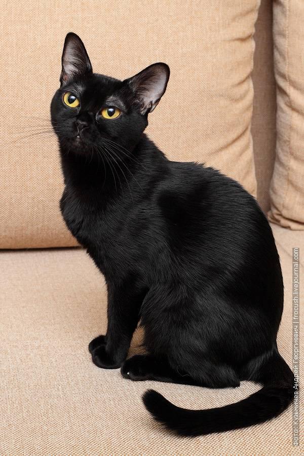 Бомбейская кошка - описание породы и характера