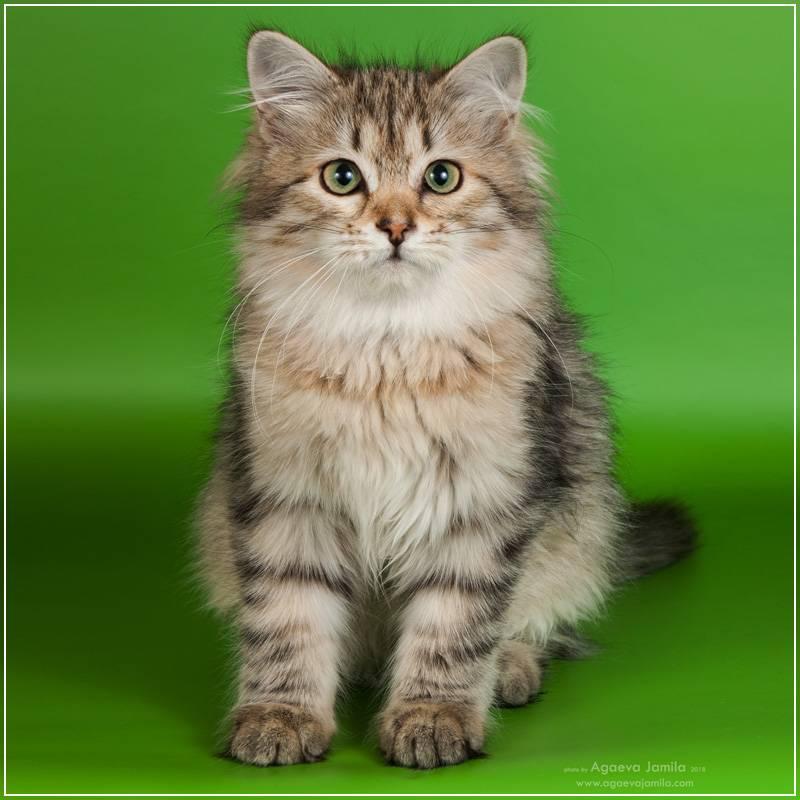 Сибирская кошка: фото, описание породы, характер, здоровье, уход и содержание