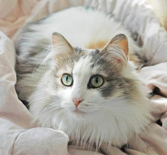 Рагамаффин - описание породы и характера кошки. фото котят и цена кошек рагамаффин. - petstime.ru