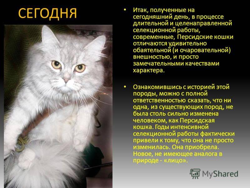Кимрик: описание породы кошек, фото, содержание