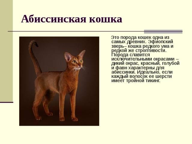 Абиссинская кошка: виды окрасов и стоимость породы