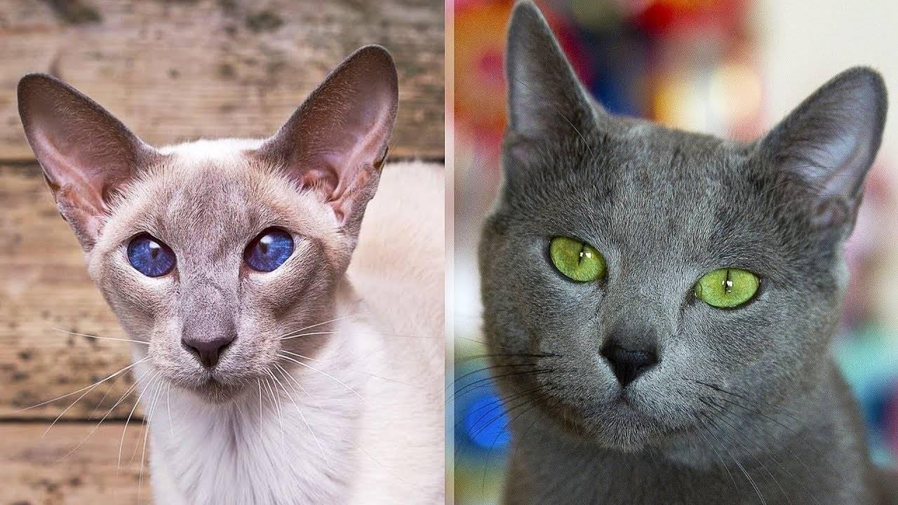 Самые умные кошки. топ-10 самых умных пород кошек