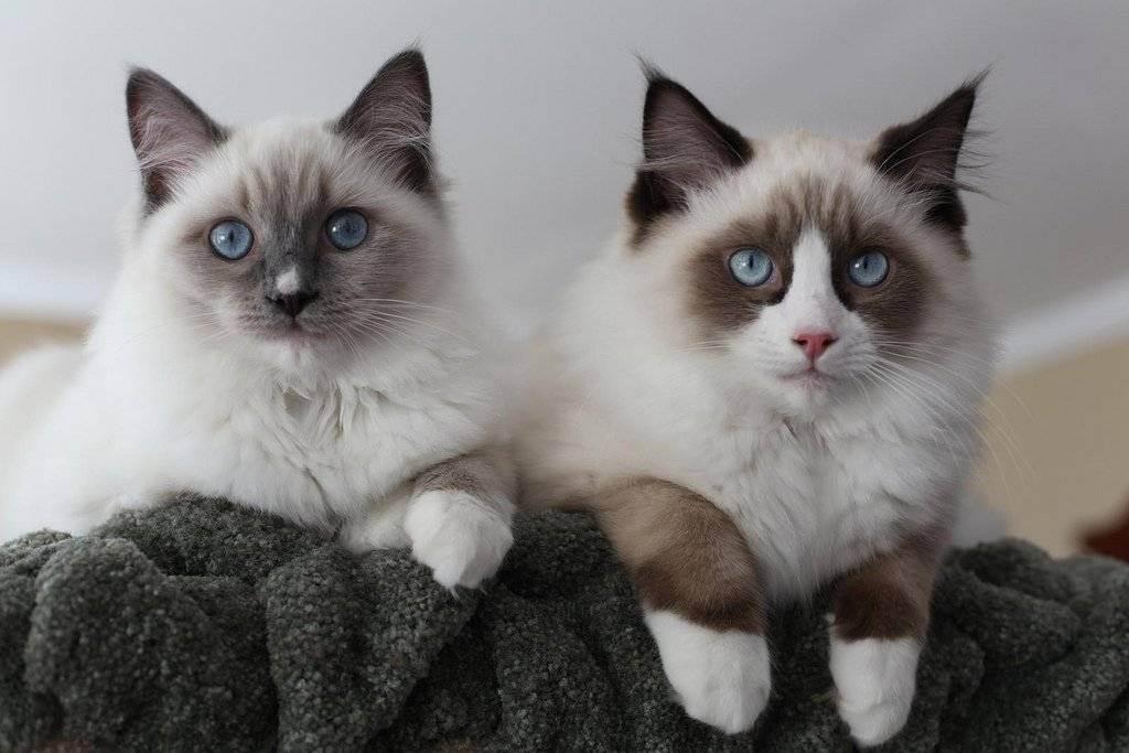 Самые добрые и ласковые породы кошек и котов