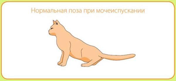 Мочекаменная болезнь у кошек:  симптомы, лечение, корм