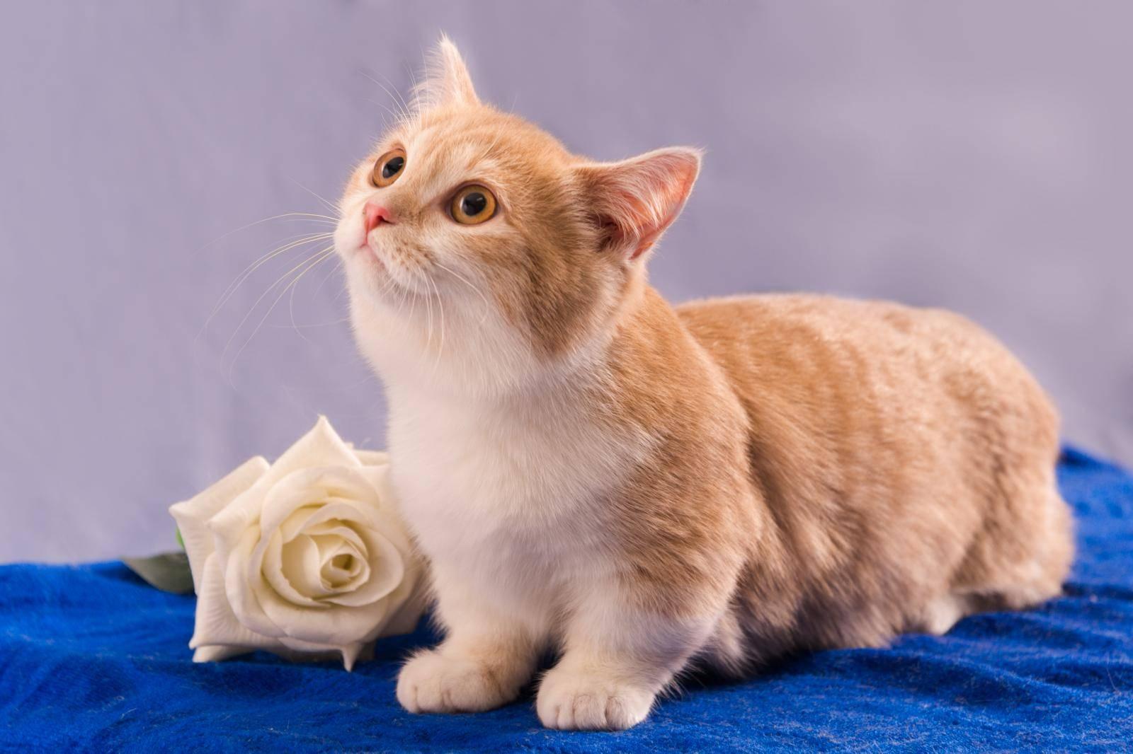 Кошки с короткими лапами: порода Манчкин - фото и цена, описание