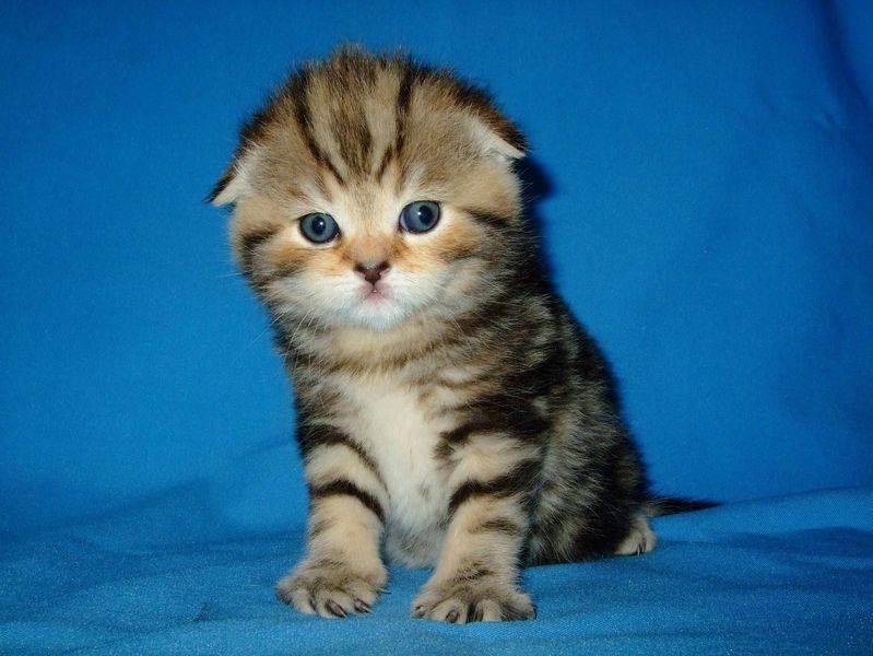 Шотландская прямоухая длинношерстная кошка хайленд-страйт