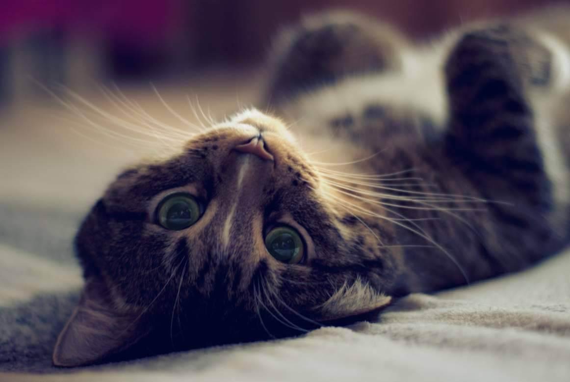Таурин для кошек