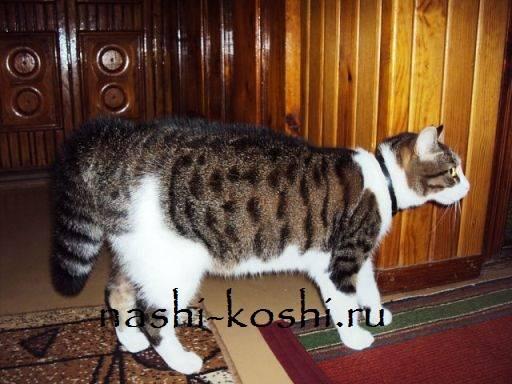 Ушиб хвоста у кошки симптомы и лечение - муркин дом