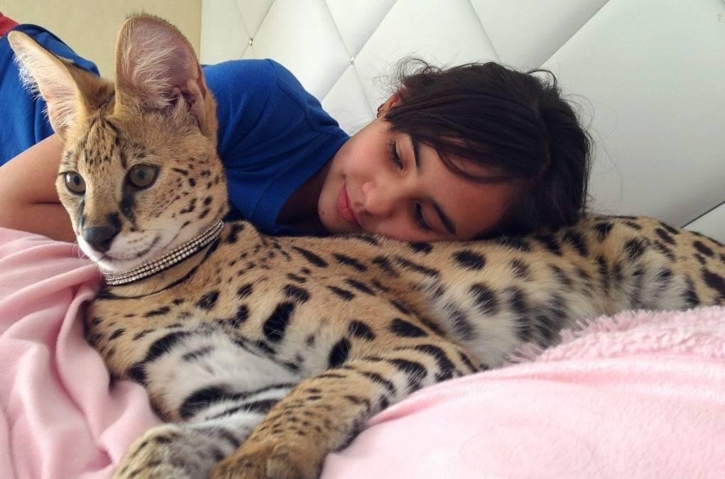 Сервал: описание породы и характера кошек