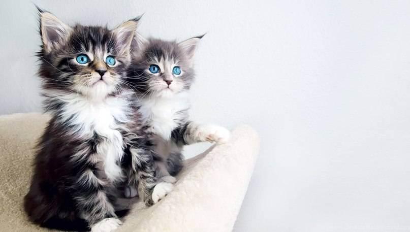 Как сделать документы на кошку без родословной. оформление документов на кошку — что необходимо? трансфер на владение кошкой