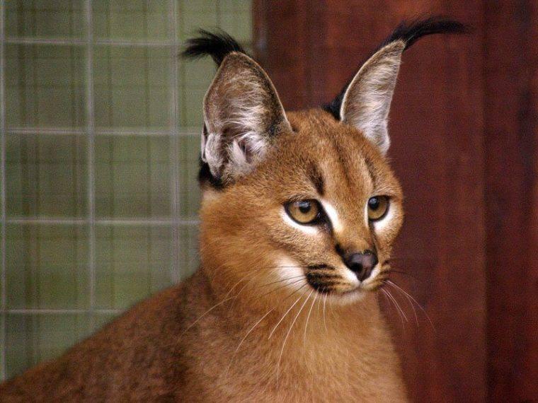 Кошки и коты с большими ушами: порода | фото, цена