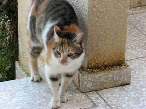 Кошка метит территорию во время течки, что делать, как отучить кошку метить углы | кошки - кто они?