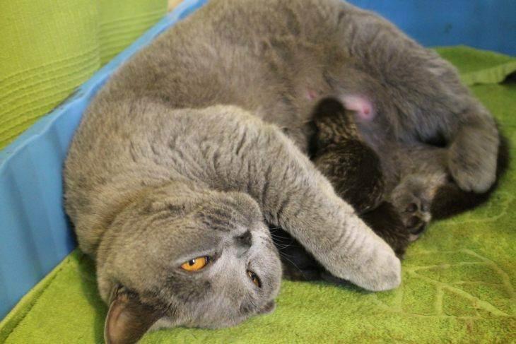 Сколько котят может родить шотландская кошка максимум