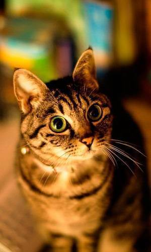 Плюсы и минусы кастрации и стерилизации кошек