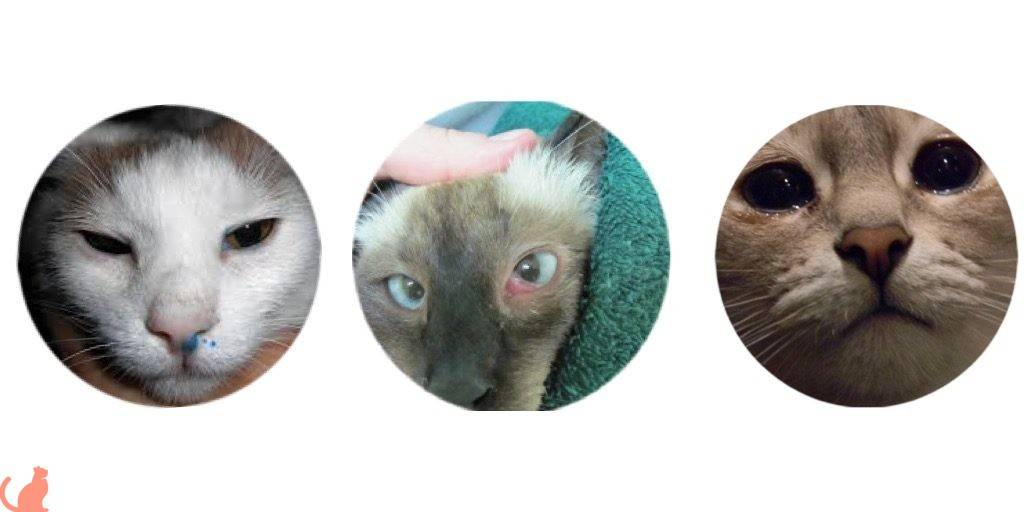 У кошки слезится один глаз и щурится: что делать, красный глаз, выделения