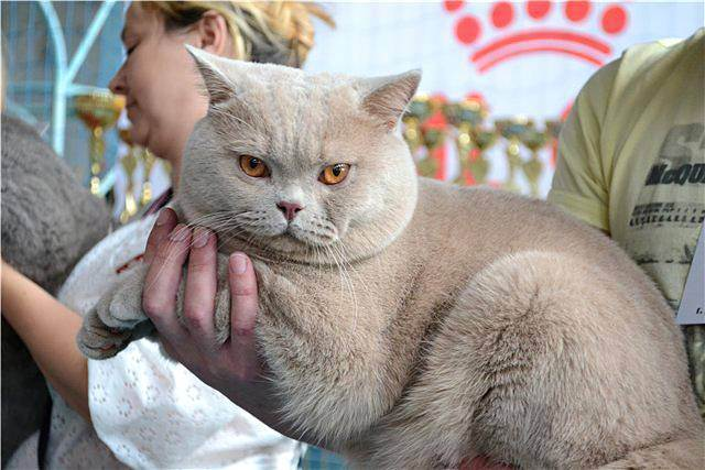 Британские кошки окраса табби: разновидности и содержание