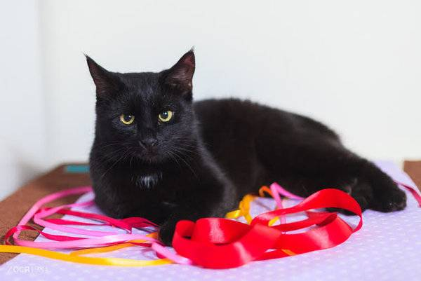 Кельтская кошка. описание, особенности, уход и цена кельтской кошки | животный мир