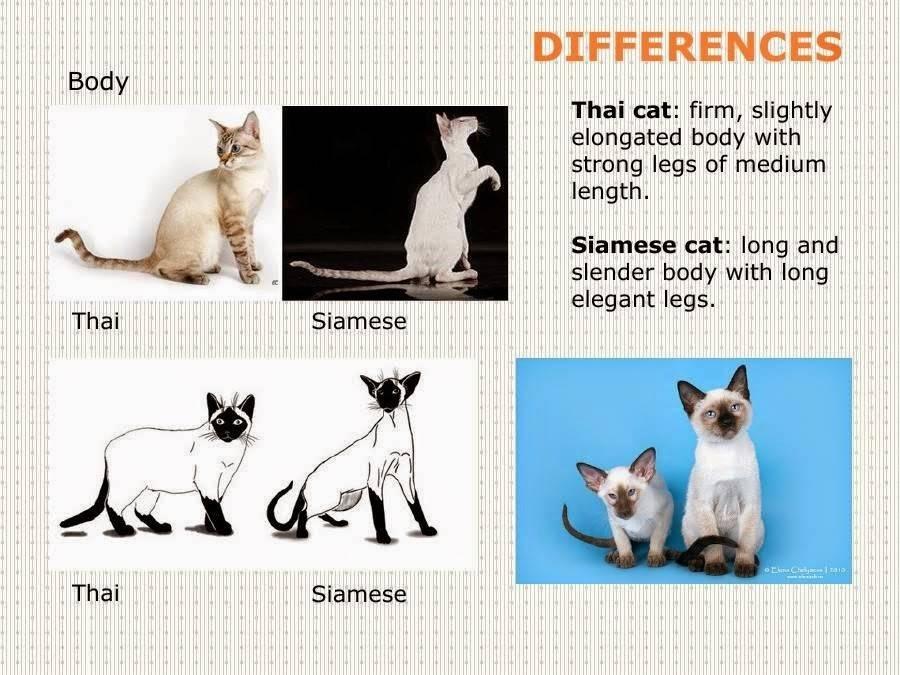 Тайская кошка: описание породы, характер, фото, стоимость котенка