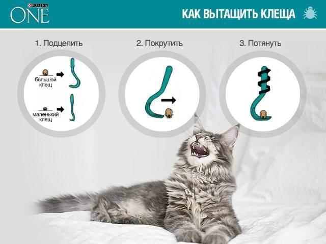 Симптомы и признаки ушного клеща у кошек. говорим об отодектозе
