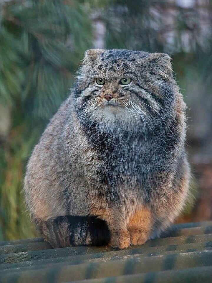Манул: 62 фото, описание, окрас, особенности, характер диких кошек