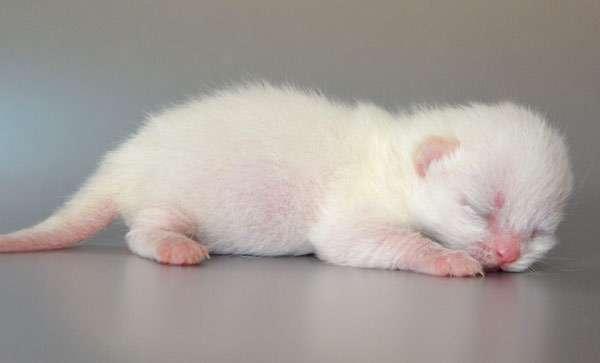 Список имен для шотландских кошек