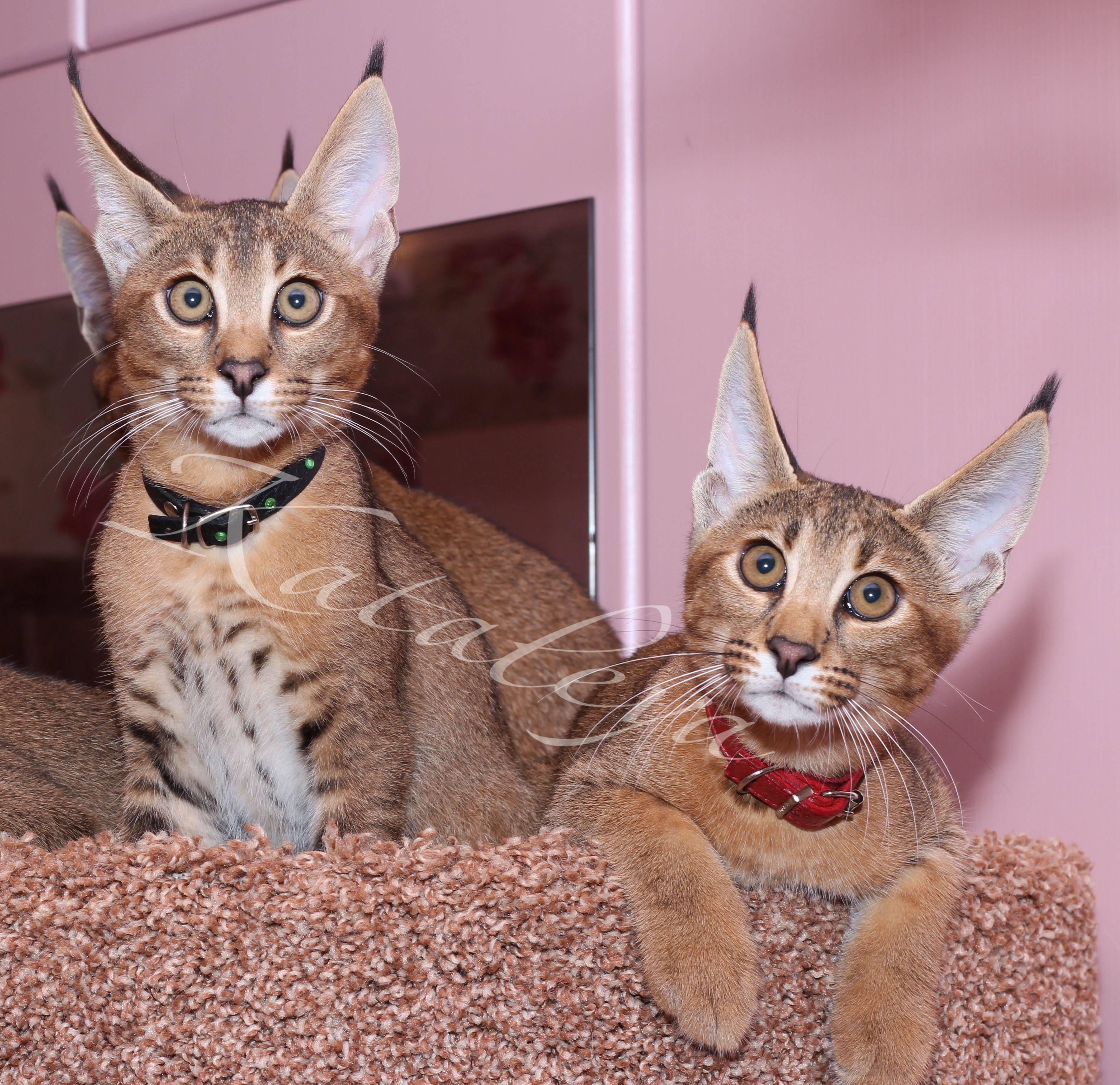 Породы кошек с кисточками на ушах