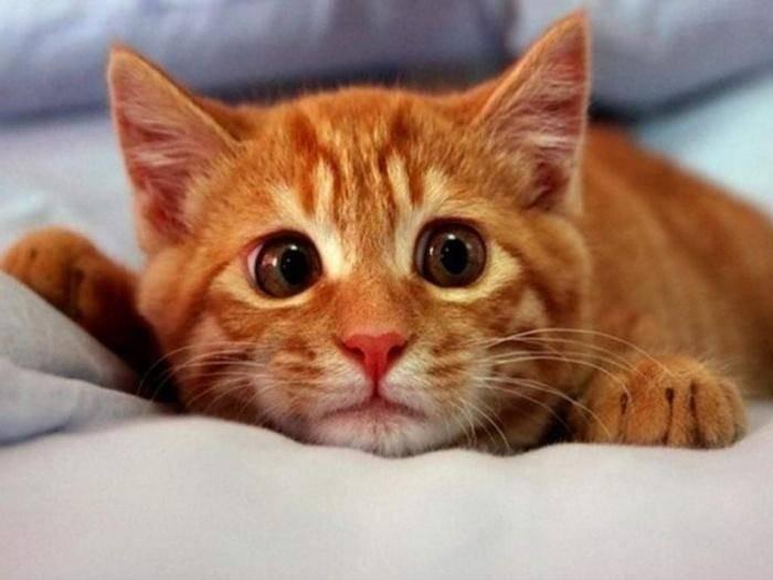 Мочекаменная болезнь у кошек: симптомы и лечение