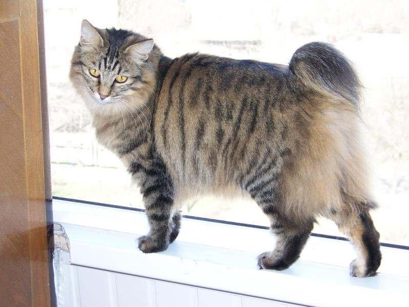 Подробное описание и повадки котов крысоловов