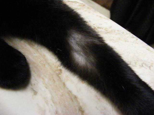 Облысение у кошек: причины, лечение и фото