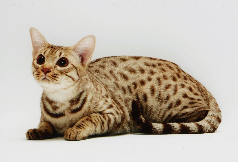 Кельтская кошка — фото, описание породы, содержание, цена котят, характер. здоровье, отзывы