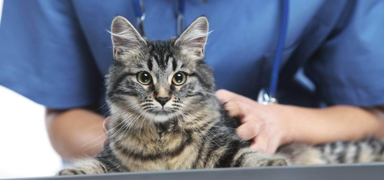 Совет ветеринаров: кастрировать или нет домашнего кота