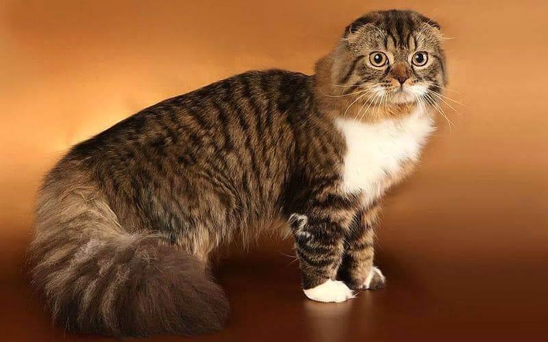 Течка у вислоухих кошек сколько длится — изучаем главное