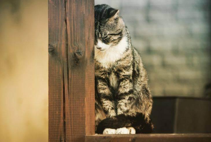 Острый и хронический панкреатит у кошек, причины, диагностика, лечение, прогноз