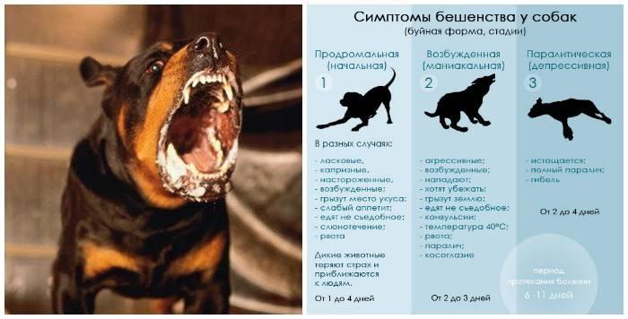 Бешенство у кошек: признаки и симптомы, опасность для человека, инкубационный период, профилактика