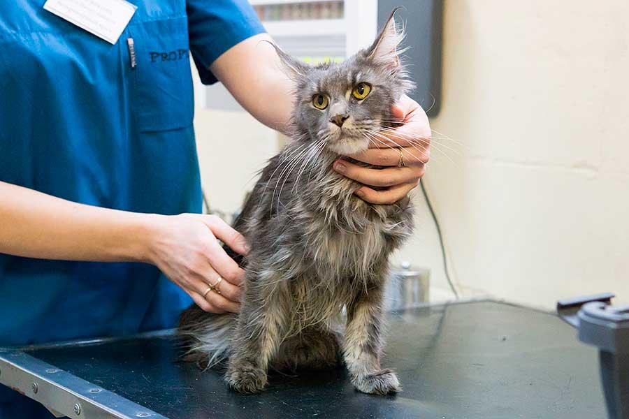 Когда и какие прививки нужно делать мейн куну   my darling cats