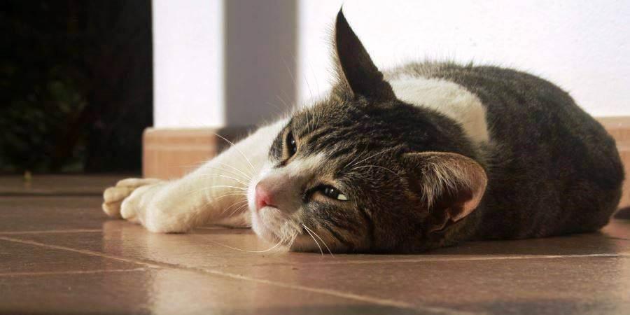 Кот часто рвет шерстью