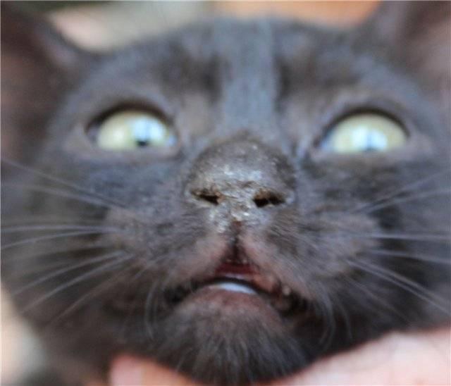 У котенка сухой нос: что это значит, почему носик у кота становится горячим, в чем причина?