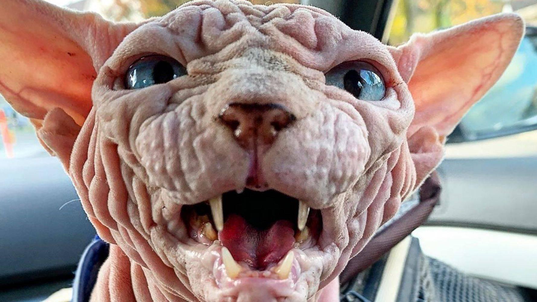 Страшные коты – топ пород, описание самых необычных животных