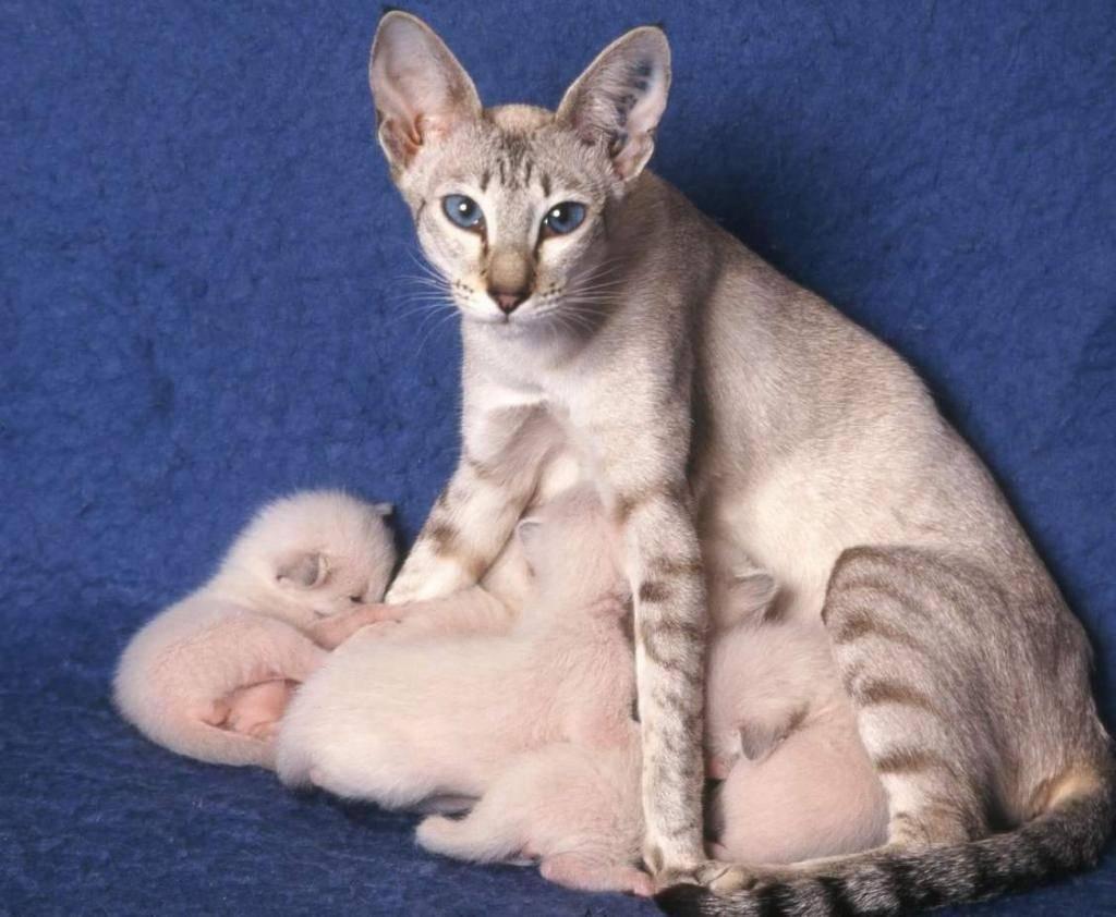 Беременность у кошек: признаки, сколько длится у разных пород, осложнения