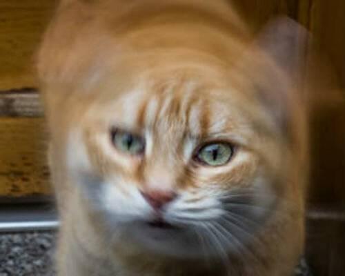 Почему кошка качает головой?