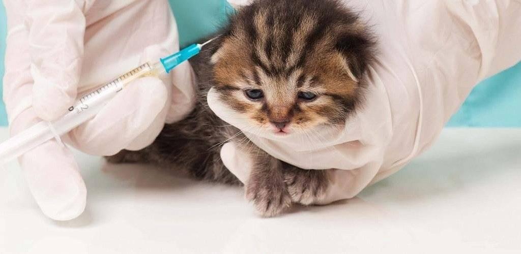 Сколько живут кошки с вирусным перитонитом, симптомы и лечение