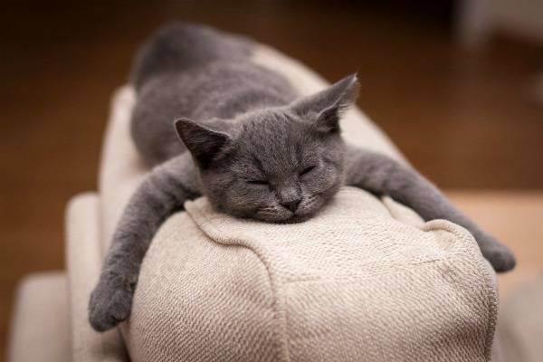 Правильный уход за британскими котятами